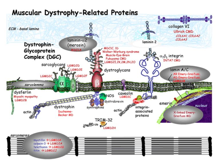 Muscular Dystrophy-Related Proteins